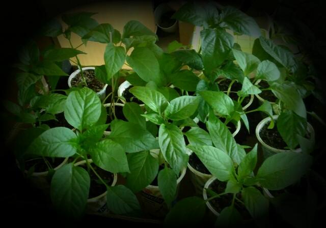 Update Chili & Paprika Pflanzen