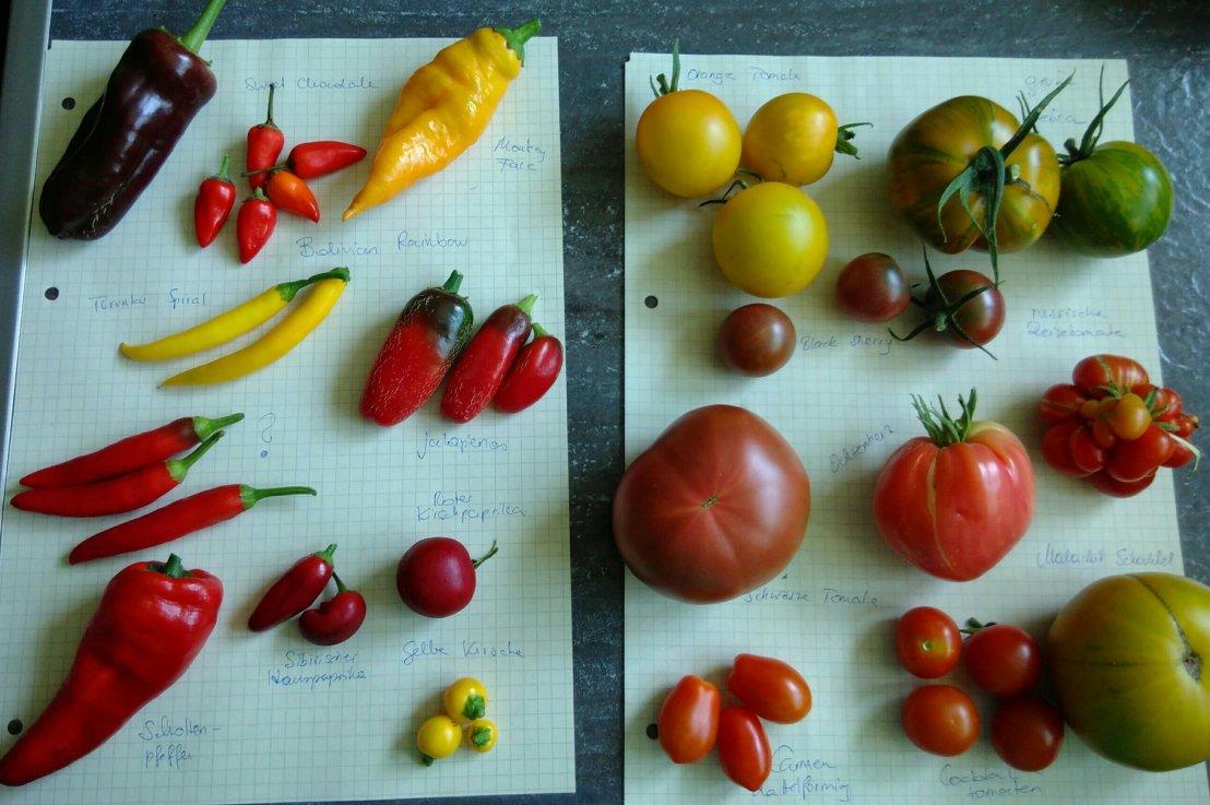 Update Tomaten & Chili Anzucht – BunteVielfalt