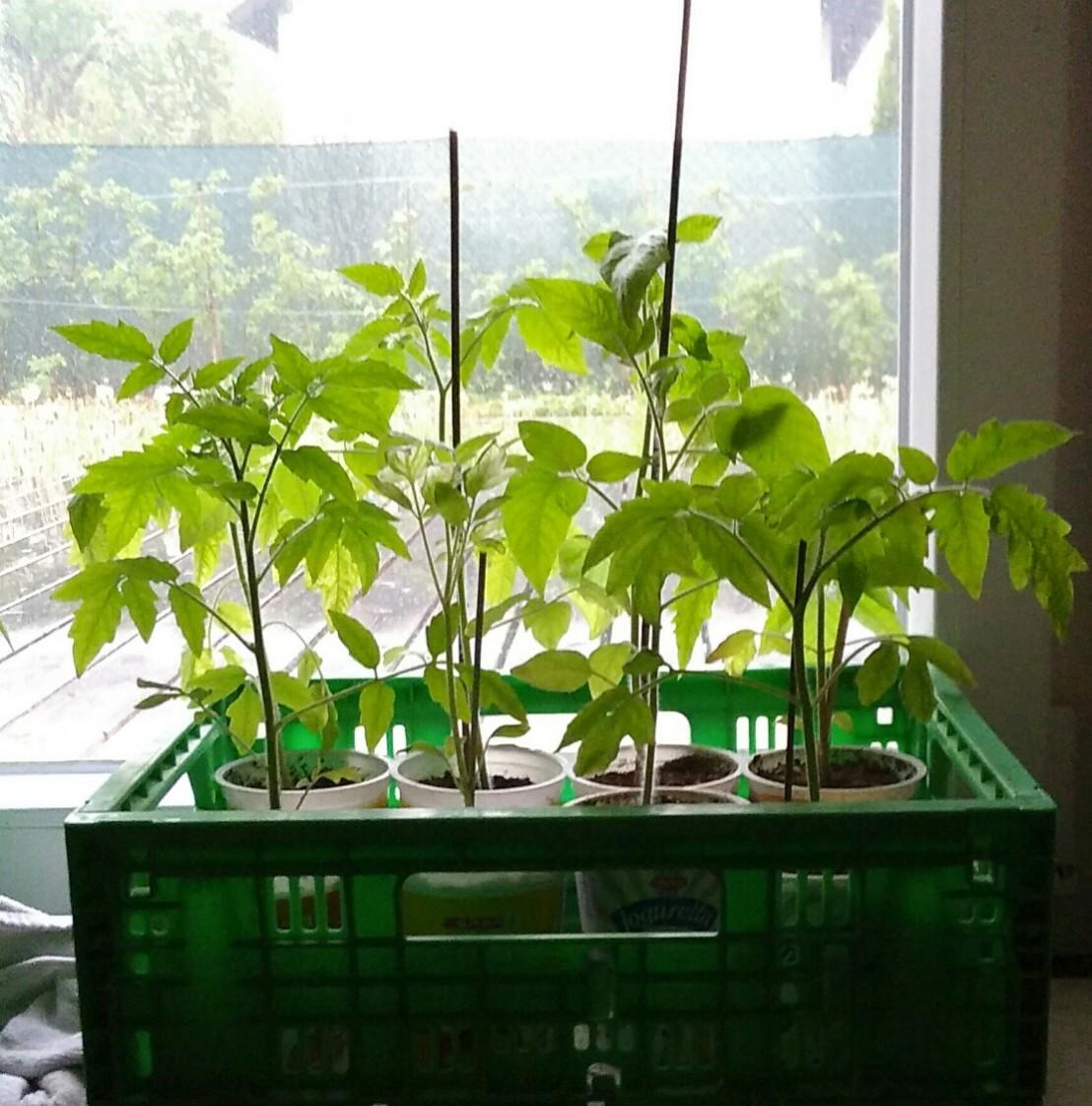 Tomatenpflanzen Update
