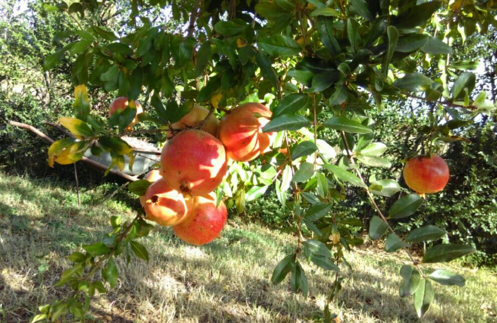 Granatapfelbäumchen selbst ziehen