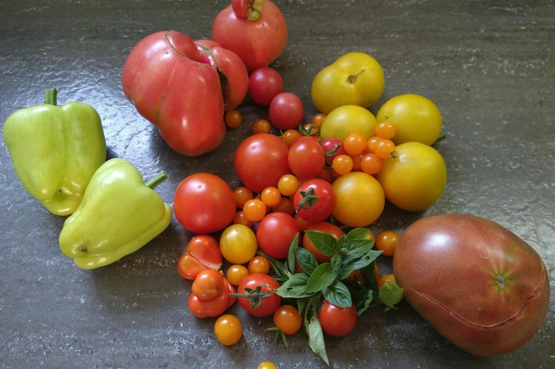 ….uhuuu es ist soweit, Tomatenerntezeit !!